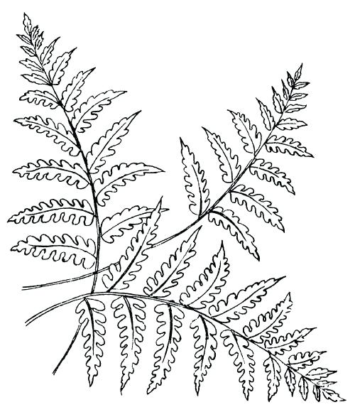 A black and white image of a fern.
