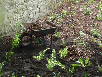 A wheelbarrow full of bark mulch within a flowerbed with freshly planted woodland plants such as ferns and Liriope muscari.